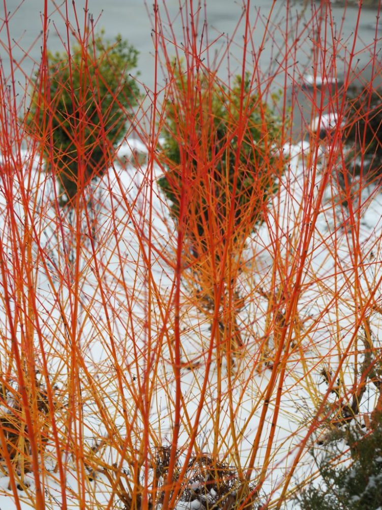 Cornus sanguinea 'Midwinter Fire' glowing in the winter sunlight
