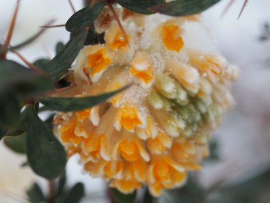 Edgeworthia chrysantha grandiflora, or the paperbush