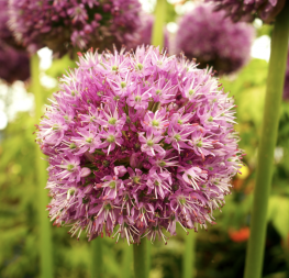 A new Allium to me, His Excellency, looking rather regal...