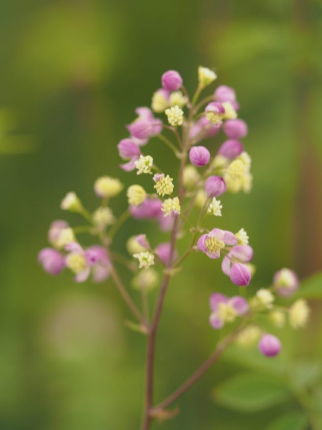 Thalictrum 'Elin' from Hardys