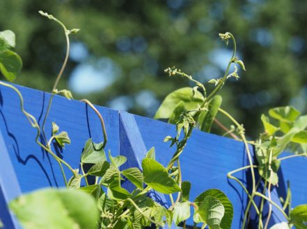 A little bit of detail from the RHS Grow Your Own Garden with The Raymond Blanc Gardening School stole my heart with their runner beans scampering over a Barlywood blue structure...
