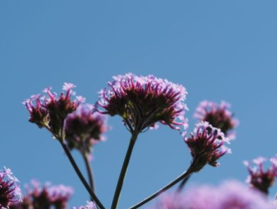 Thousands of Verbena bonariensis basking in the hot sun...