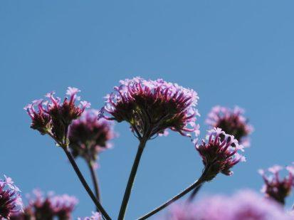 Thousands of Verbena bonariensis basking in the hot sun...