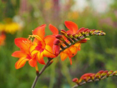Crocosmia Firestars 'Scorchio', photographed on the Hardys Cottage Garden Plants display at RHS Hampton Court Palace Flower Show 2018