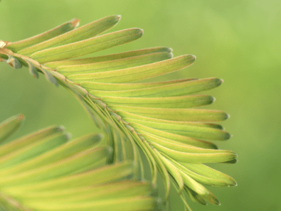 Metasequoia glyptostroboides 'Emerald Feathers'