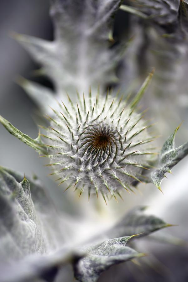 Onorpurdum acanthium in bud