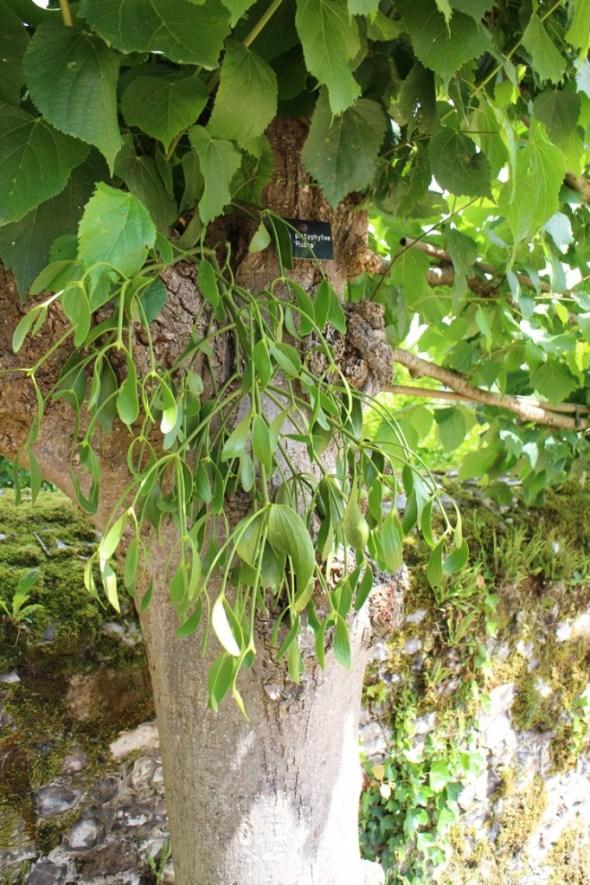 Mistletoe on the pleached limes at Mottisfont
