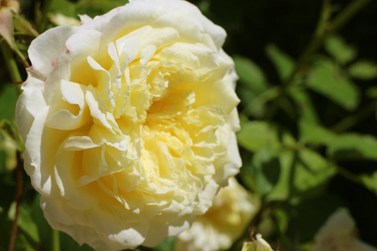 Mottisfont Abbey Gardens Rose The Pilgrim
