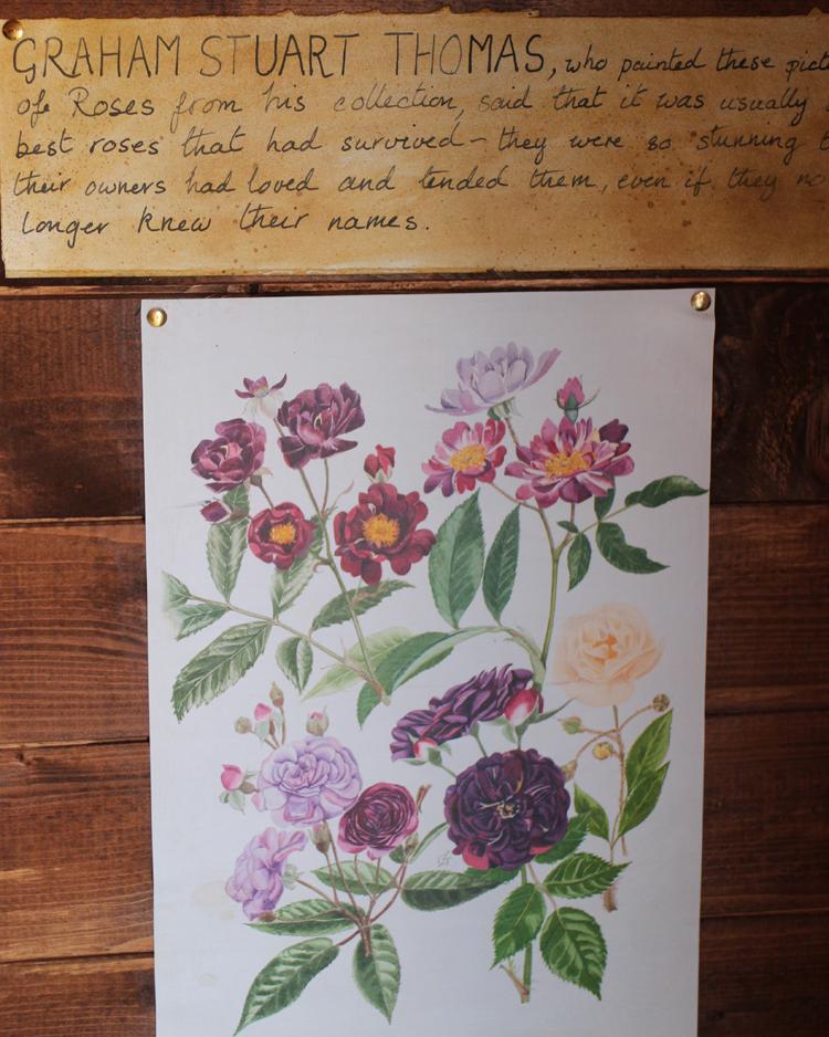 Mottisfont Graham Stuart Thomas Botanical Drawing