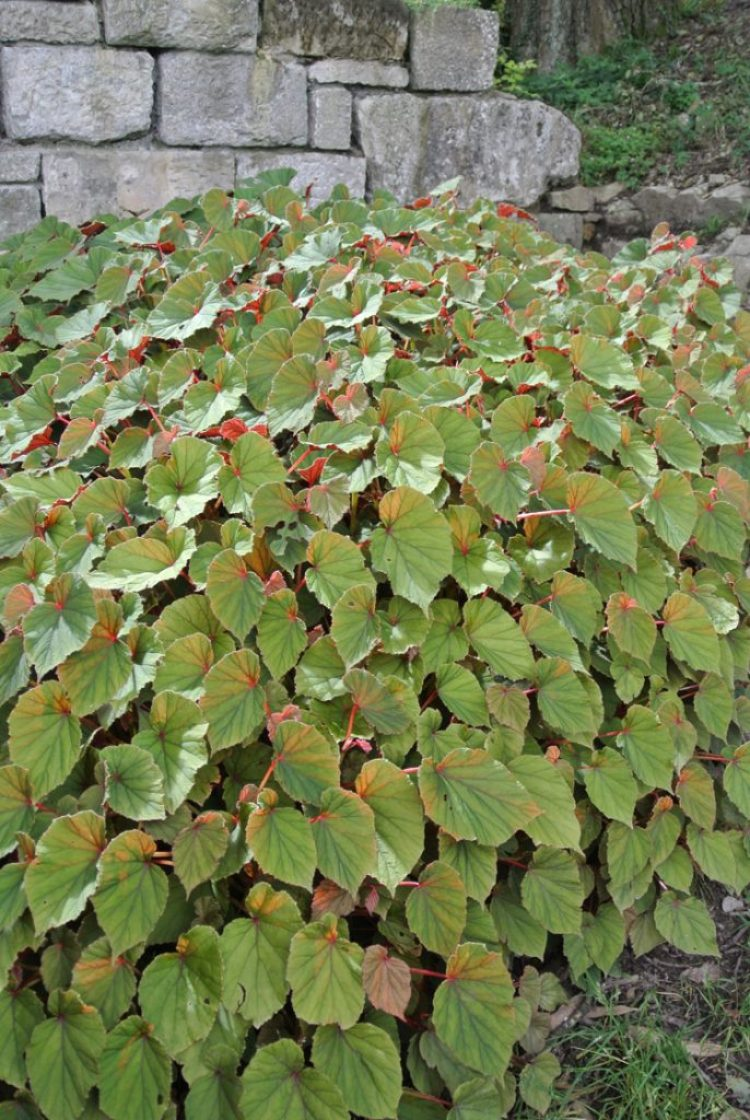 Hardy Begonia growing at Yewbarrow Garden (Grange over Sands)
