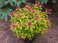 SPIRAEA japonica 'Magic Carpet' - Plantes extrieures