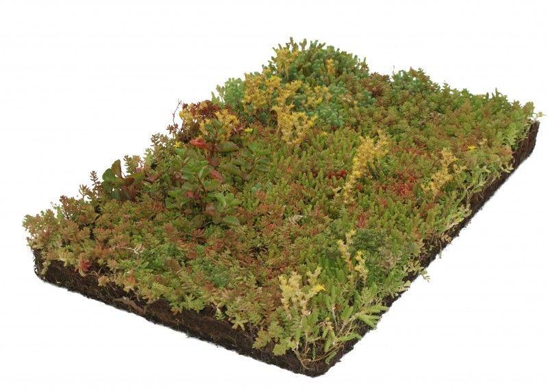 sedum couvre sol tapis