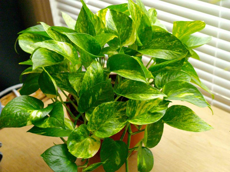 Pothos indoor house plant - Pothos - Indoor house plants