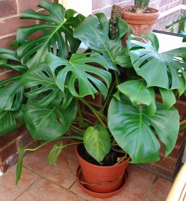 Split Leaf Philodendron