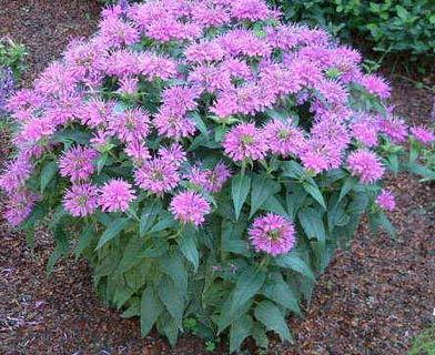 Bee balm - Herb garden