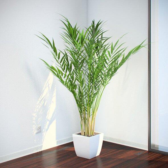 Areca palm - Indoor House Plants