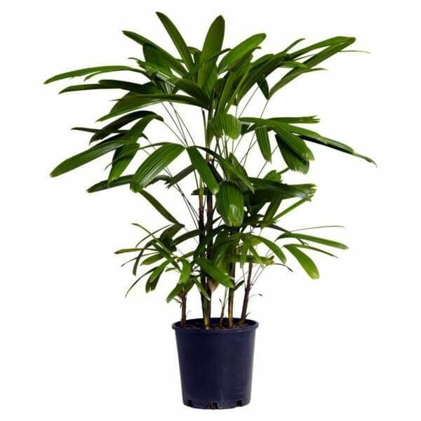 Lady Palm - Indoor House Plants
