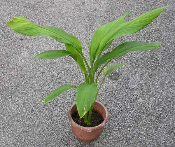 Turmeric (Curcuma longa) - Herb garden