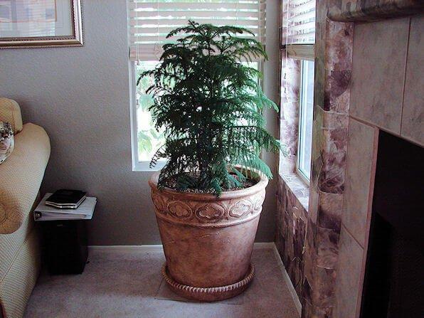 Living christmas tree  - Indoor House Plants