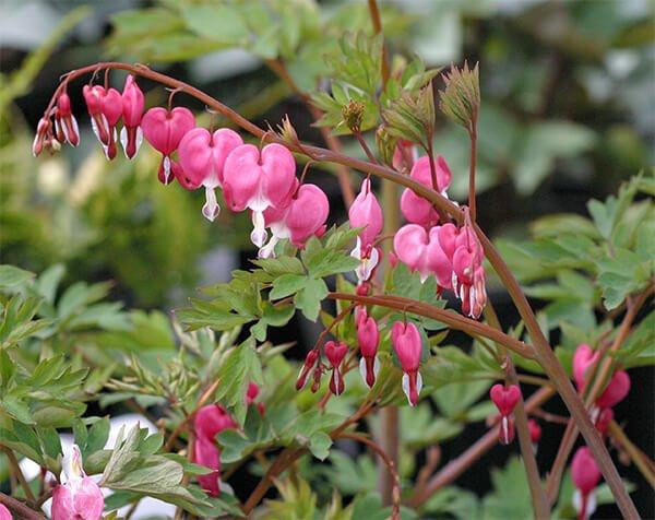 Bleeding heart - Flowering plants