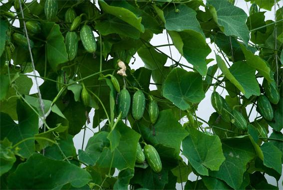 Ivy gourd - Vegetable garden