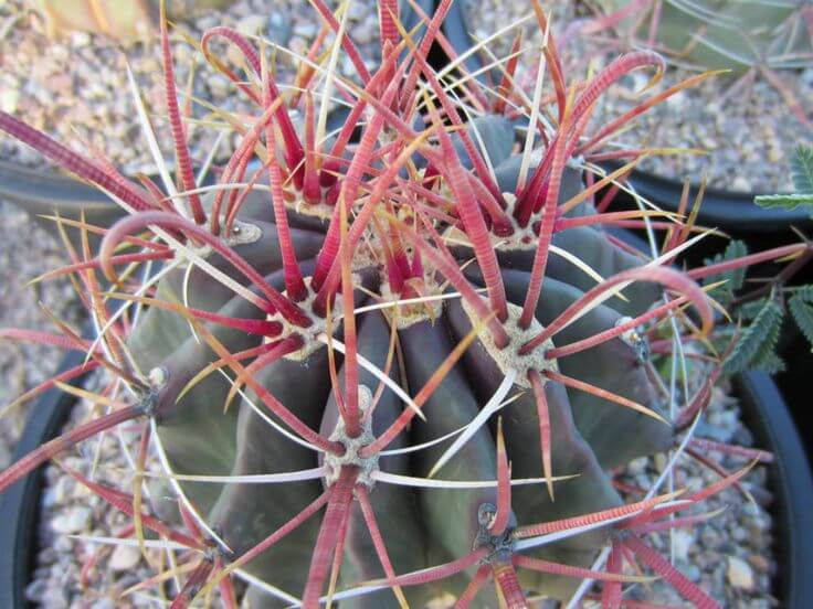 Ferocactus wislizeni - Cactus garden