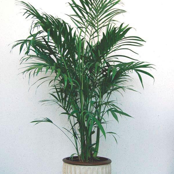 Cat palm - Indoor House Plants