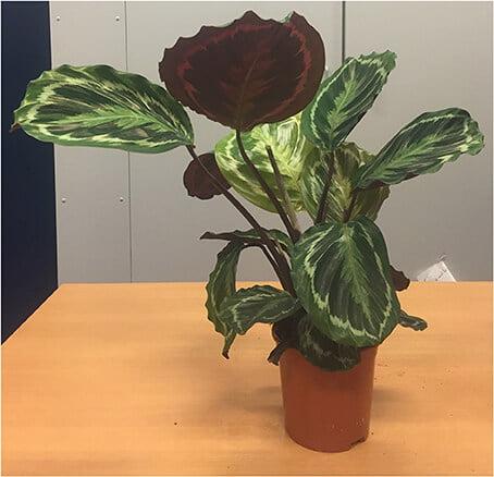 Calathea roseopicta - Indoor House plants