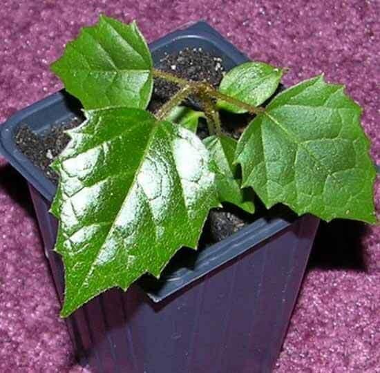 Cissus antarctica - Indoor House Plants