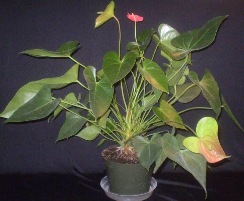 Anthurium andraeanum - Indoor House Plants