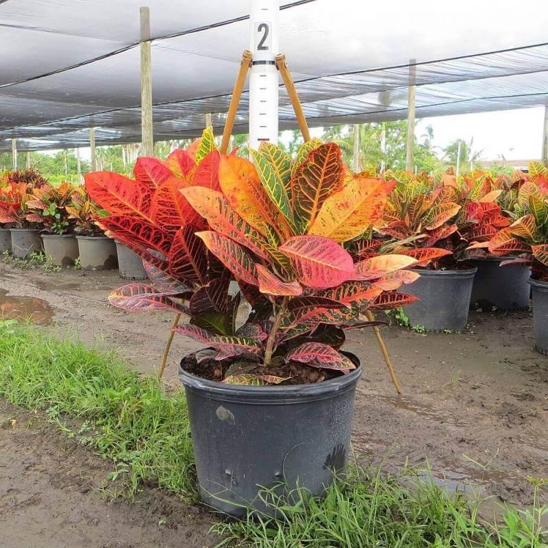 Codiaeum variegatum - Indoor house Plants