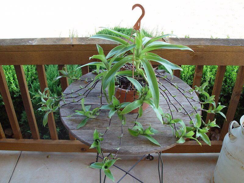 Callisia fragrans - Indoor House Plants