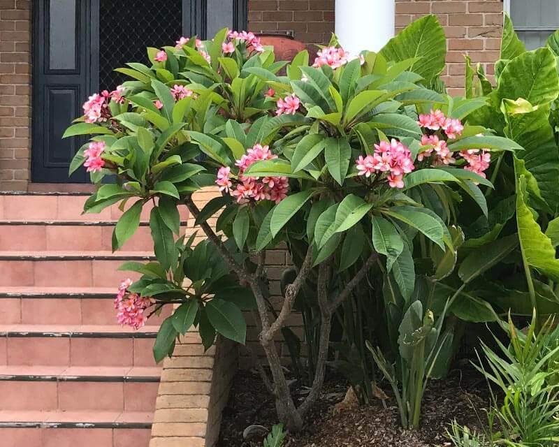 Plumeria rubra - Flowering plants
