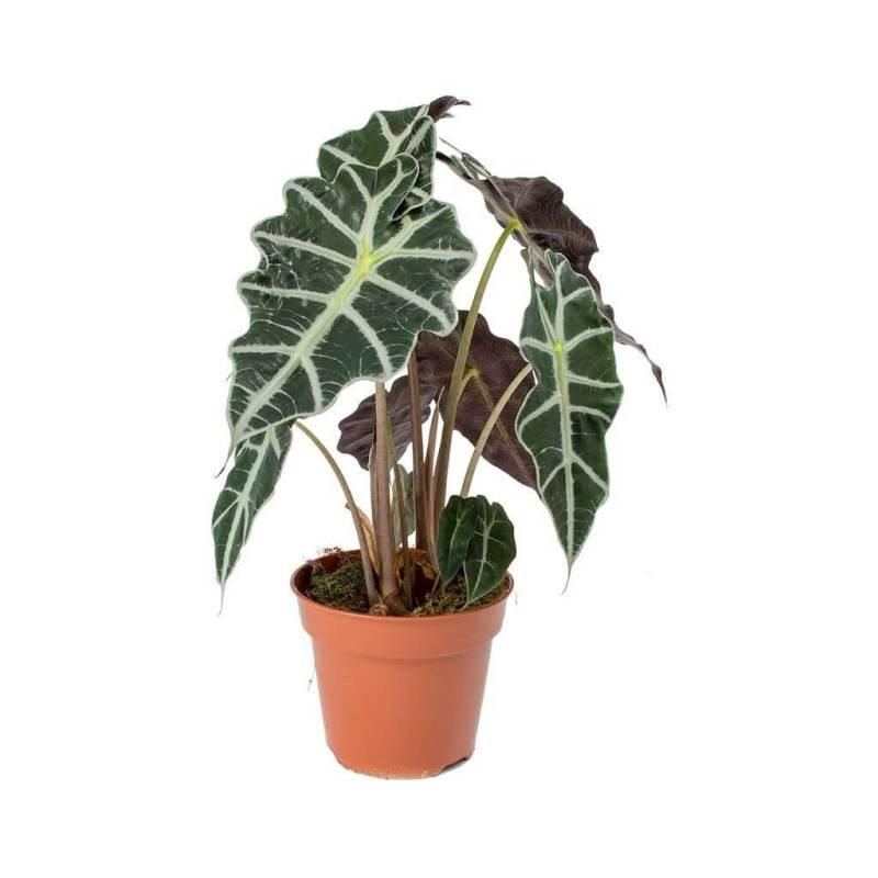 Alocasia amazonica (Elephant Ear plant) - Indoor House Plants
