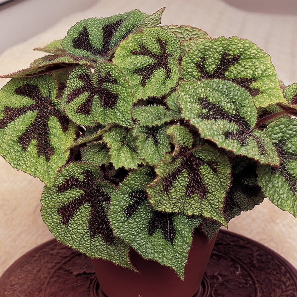 Begonia masoniana (Iron cross begonia) - Indoor House Plants