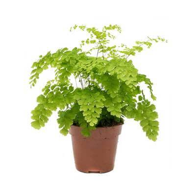 Delta Maidenhair Fern (Adiantum Fragrans) - Indoor House Plants