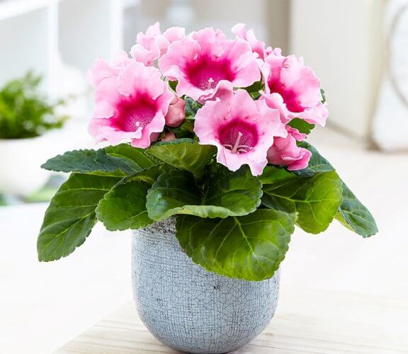 Gloxinia (Sinningia speciosa) - Flowering plants