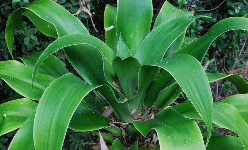 Dracaena Plant - Indoor Plants