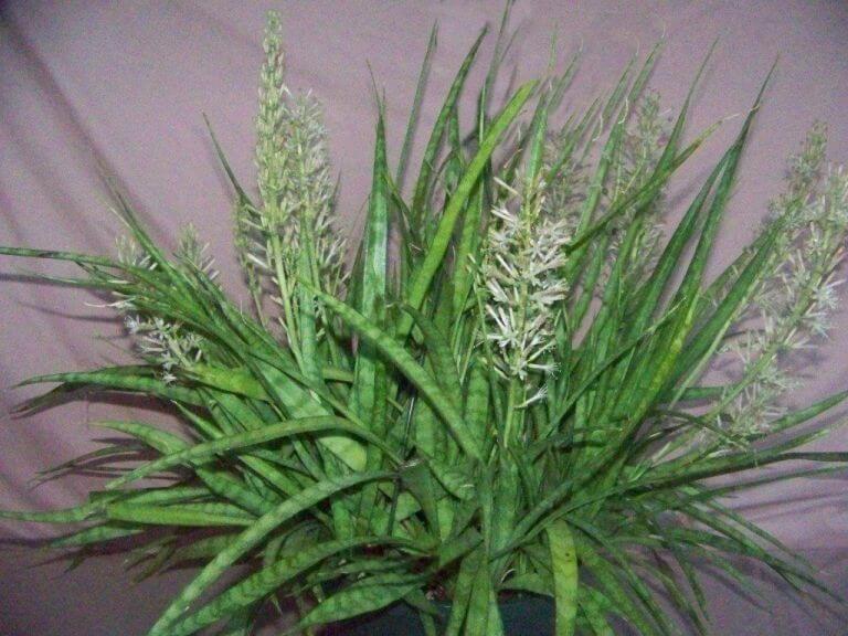 Sansevieria parva (Kenya Hyacinth) - Indoor Plants