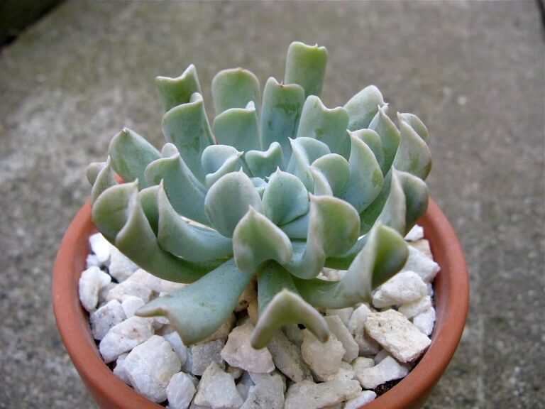 Echeveria runyonii 'Topsy Turvy' - Succulent plants