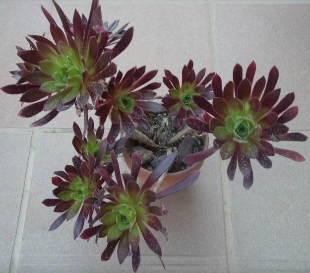 Aeonium simsii x 'Zwartkop'