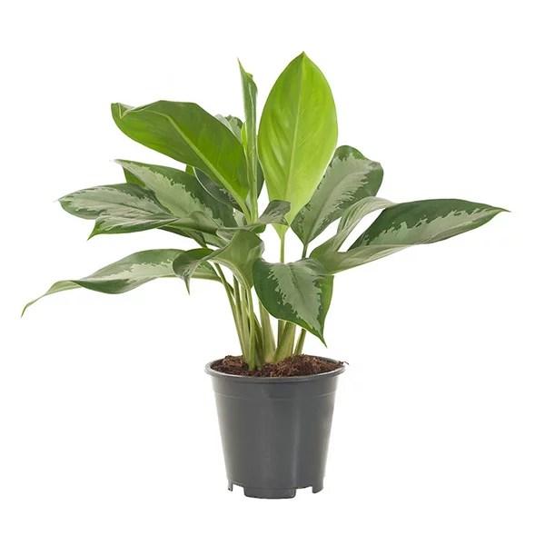Aglaonema Silver Bay  P 17 cm kopen  Plantjenl