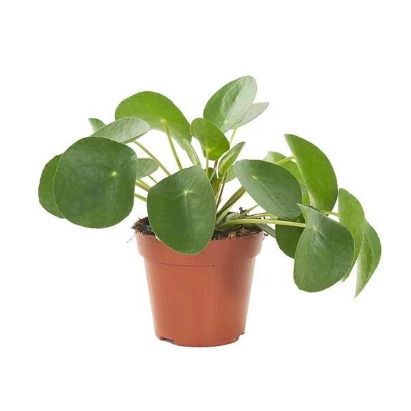 Pilea peperomioides Pannenkoekplant P 12 cm kopen
