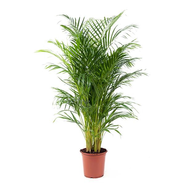 Areca Chrysalidocarpus Dypsis Lutescens Goudpalm P 24 cm