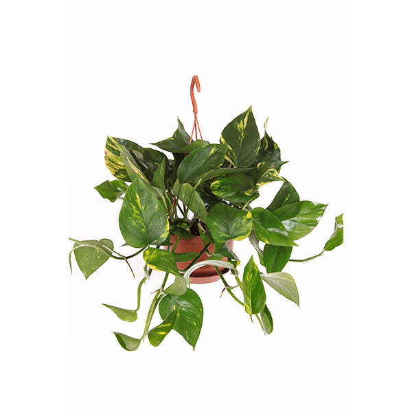 Epipremnum Pinnatum hangplant P 15 cm kopen  Plantjenl
