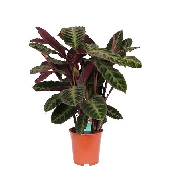 Calathea Warscewiczii Shadowplant P 21 cm kopen