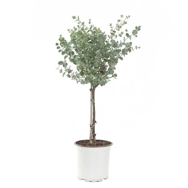 Eucalyptus Gunnii op stam Gomboom P 15 cm kopen