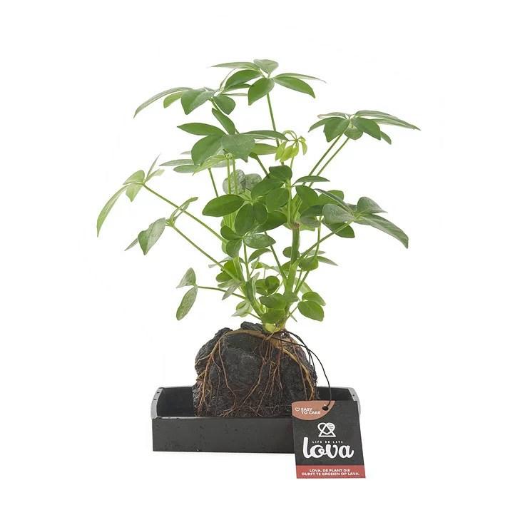 Schefflera plant op lavasteen Lova kopen  Plantjenl
