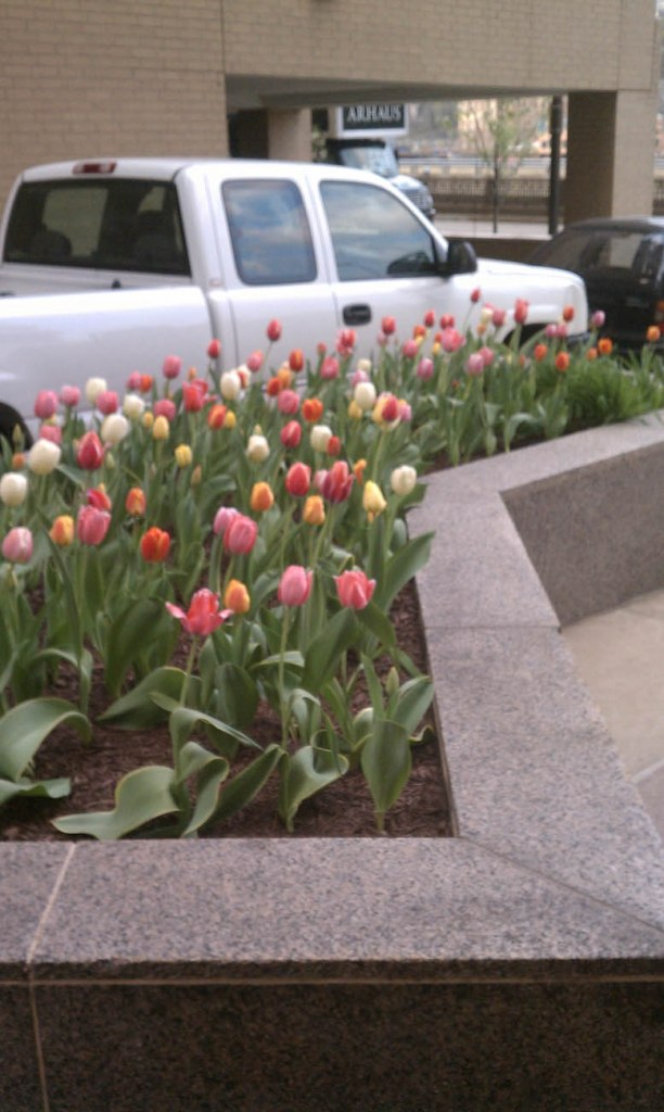 spring tulips bed