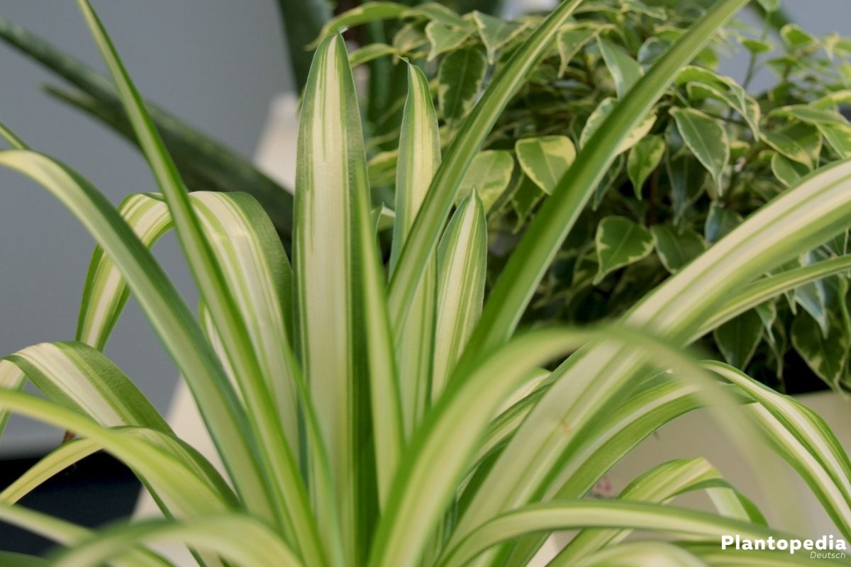 Zimmerpflanzen die wenig Licht brauchen  grne und